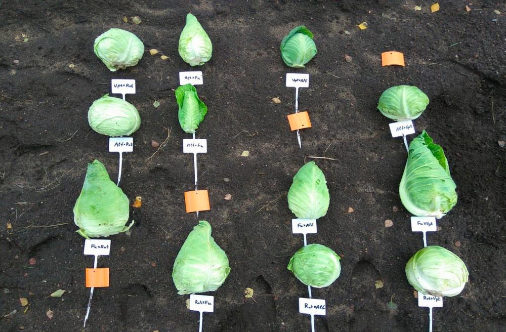 Институт овощеводства. Предварительное сортоиспытание гибридных комбинаций капусты белокочанной