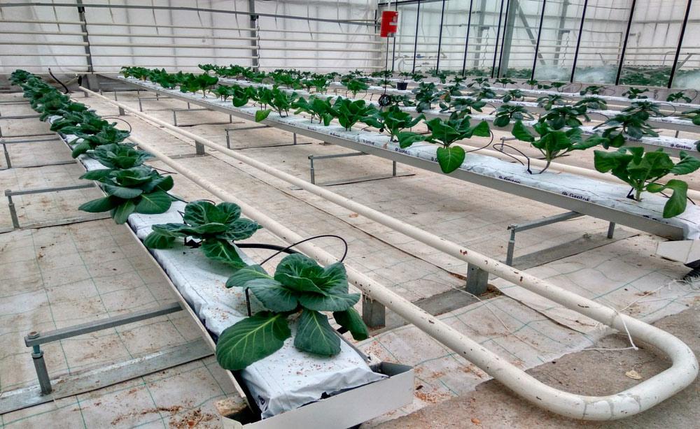 Институт овощеводства. Выращивание штеклингов родительских линий капусты белокочанной