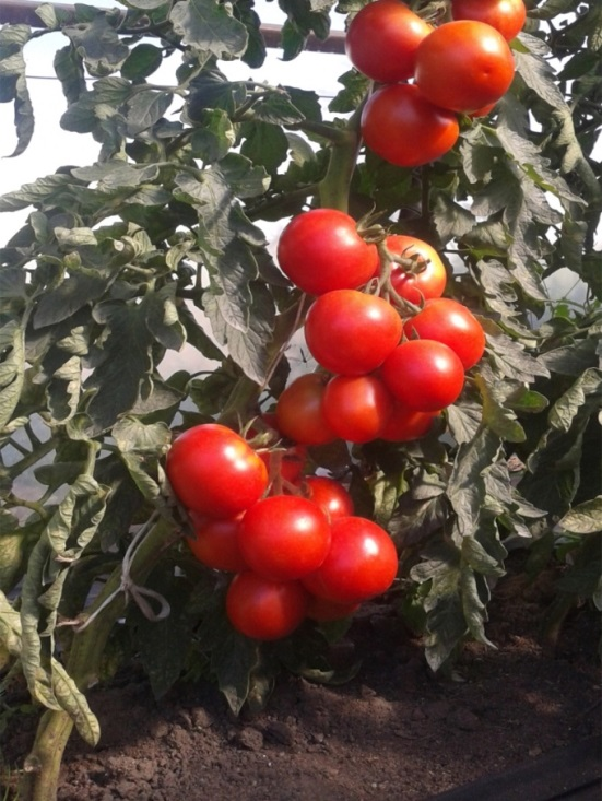 Институт овощеводства. Гибрид томата для необогреваемых теплиц Лежебока F1