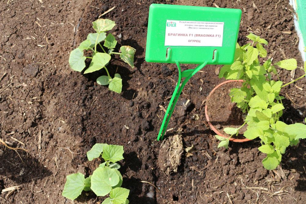 Институт овощеводства. Капуста белокачанная сорта Аватар F1
