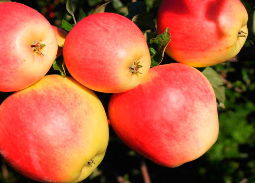 Плоды гибрида яблони 99-31/83. Исследования Института плодоводства 2016