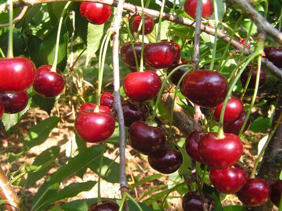 Сорт вишни Кофитюр. Исследования Института плодоводства 2013