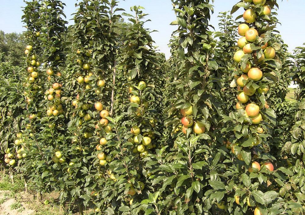 Колонновидный  яблоневый  сад. Исследования Института плодоводства 2014
