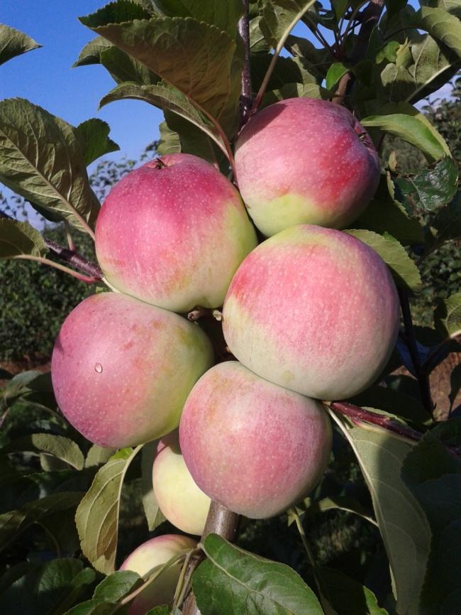 Сорт яблони раннего срока созревания Аксаміт. Исследования Института плодоводства 2015