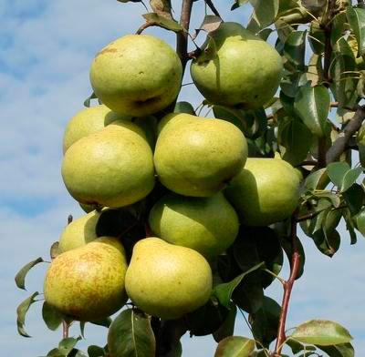 Плоды сорта груши Завея. Исследования Института плодоводства 2015