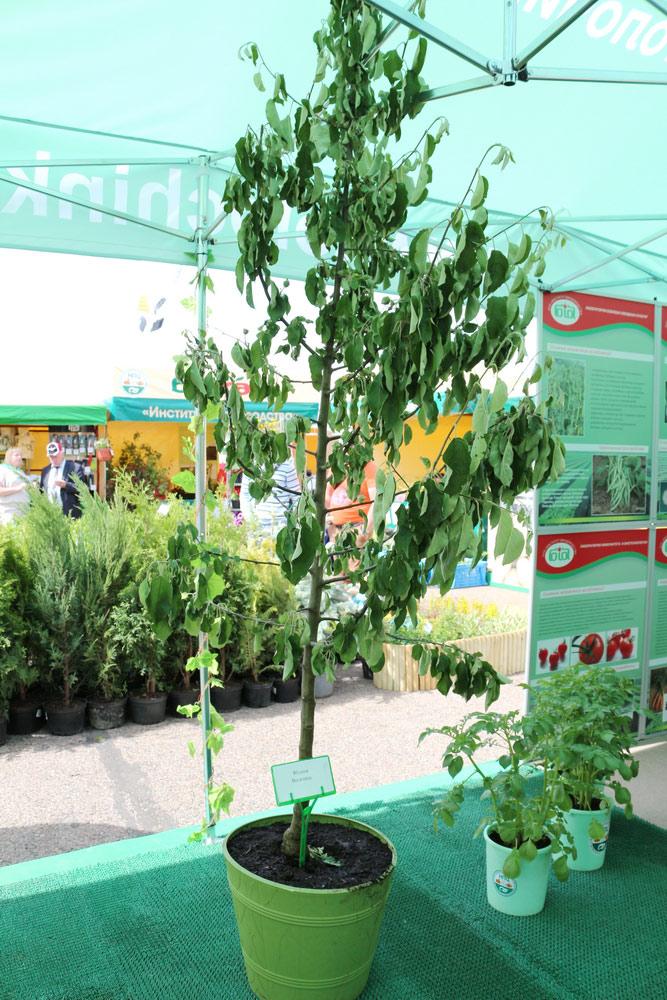 Яблоня Весялина. Институт плодоводства на БЕЛАГРО-2016