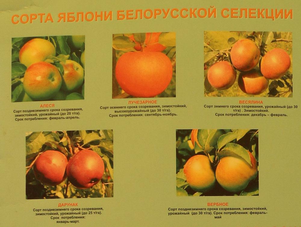 Сорта яблони белорусской селекции. Институт плодоводства на БЕЛАГРО-2016