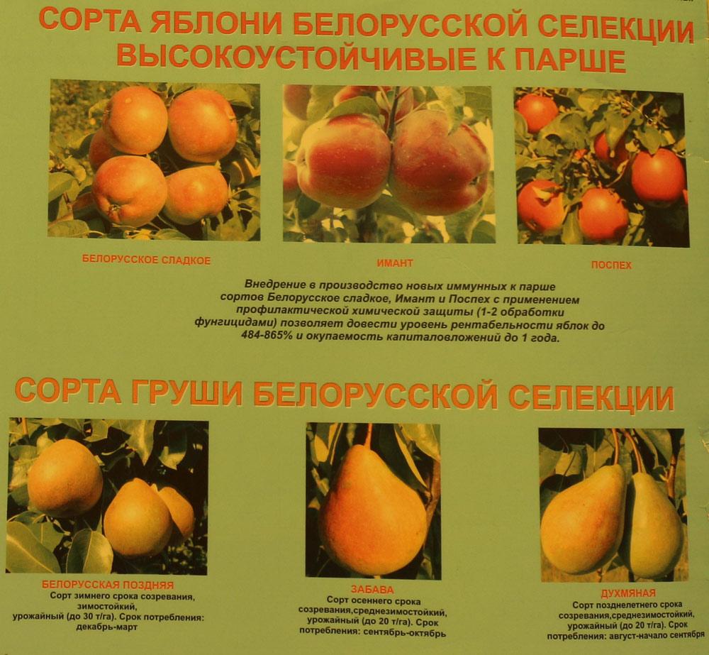 Сорта яблони белорусской селекции высокоустойчивые к парше. Сорта груши белорусской селекции. Институт плодоводства на БЕЛАГРО-2016