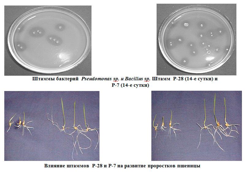 Штаммы бактерий  Pseudomonas sp. и Bacillus sp. Исследования Института почвоведения и агрохимии