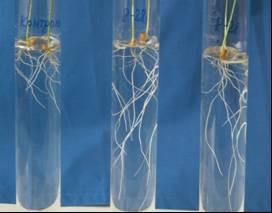 Влияние штамма Р-28 на развитие корневой системы яровой пшеницы: слева – контроль, справа – 2 пробирки с инокуляцией. Исследования Института почвоведения и агрохимии