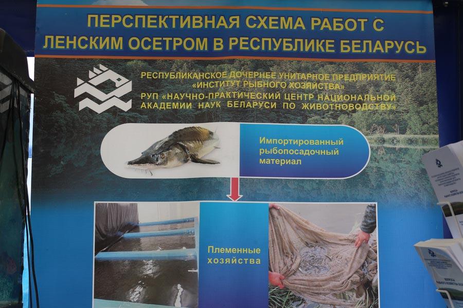 Институт рыбного хозяйства на БЕЛАГРО-2014. Перспективная схема работ с ленским осетром в Республике Беларусь.