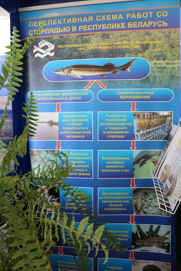 Институт рыбного хозяйства. Перспективная схема работ со стерлядью в Республике Беларусь