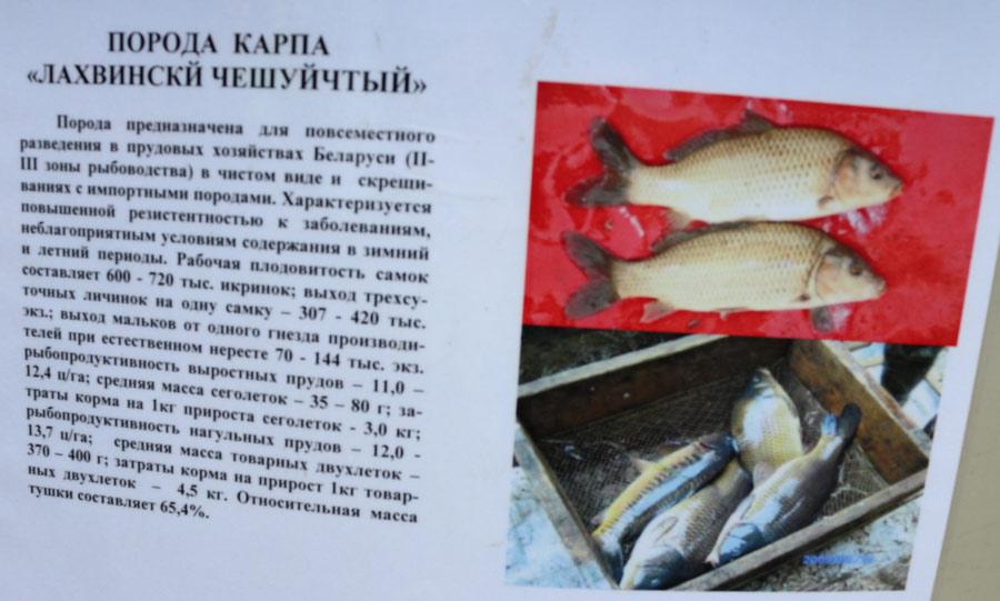 Институт рыбного хозяйства. Порода карпа Лахвинский Чешуйчатый