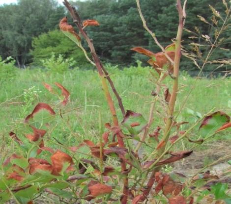 Болезни и вредители голубики высокой - антракноз ветвей  Colletotrichum gloeosporioides.  Исследования Института защиты растений 2015 г.