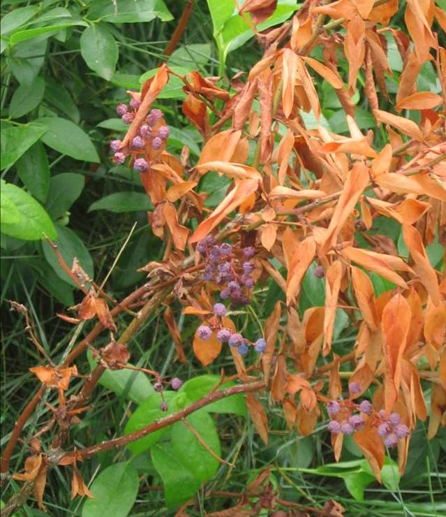 Болезни и вредители голубики высокой - рак ветвей Botryosphaeria dothidea. Исследования Института защиты растений 2015 г.