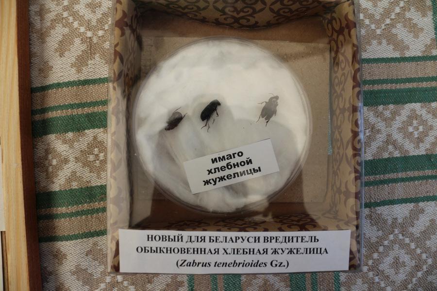 Имаго хлебной жужелицы (Zabrus tenebriodes Gz.). Новый для Беларуси вредитель. Исследования Института защиты растений