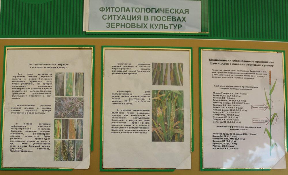 Фитопатологическая ситуация в посевах зерновых культур. Исследования Института защиты растений