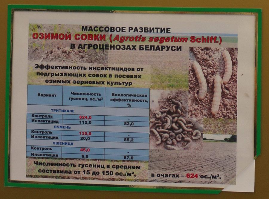 Массовое развитие озимой совки (Agrotis segetum Schiff.) в агроценозах Беларуси. Исследования Института защиты растений