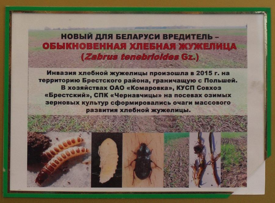 Обыкновенная хлебная жужелица (Zabrus tenebrioides Gz.) - новый для Беларуси вредитель. Исследования Института защиты растений