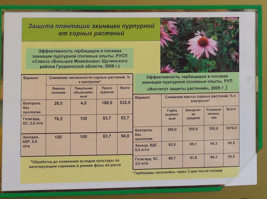 Защита плантаций эхинацеи пурпурной от сорных растений. Исследования Института защиты растений