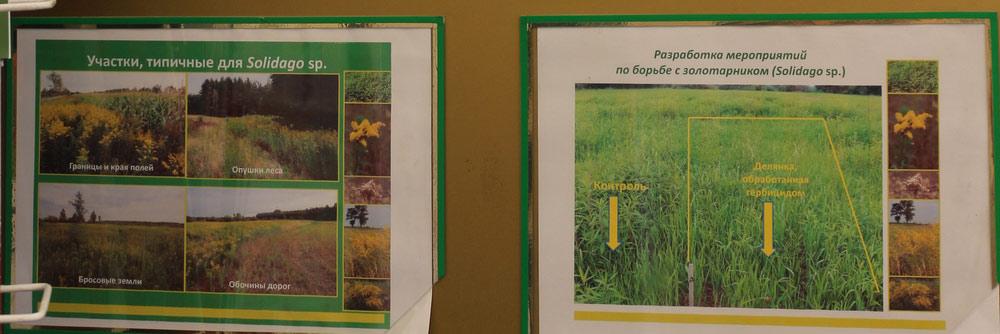 Разработка мероприятий по борьбе с золотарником (Solidago sp.). Исследования Института защиты растений