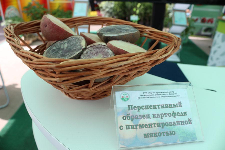 НПЦ по картофелеводству и плодоовощеводству на БЕЛАГРО-2016. Перспективный образец картофеля с пигментированной мякотью