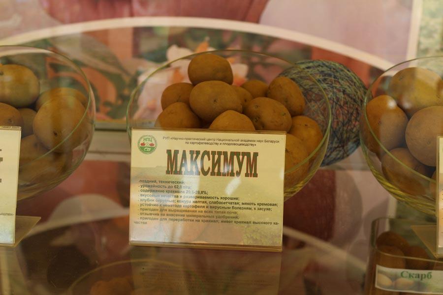 НПЦ по картофелеводству и плодоовощеводству на БЕЛАГРО-2014. Сорт картофеля Максимум