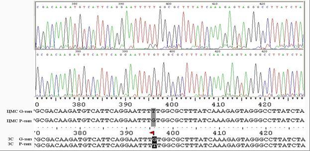 Сиквенсы района orf 256 (elf 256) растений с разными типами ЦМС и их закрепителей стерильности (ЗС) с нормальной цитоплазмой. Исследования НПЦ по земледелию