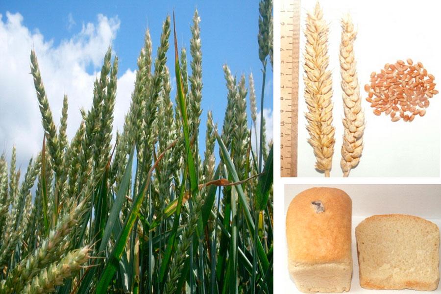 Сорт озимой пшеницы Магда. Исследования НПЦ по земледелию