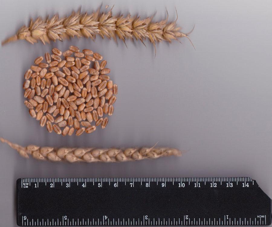Озимая пшеница Мроя