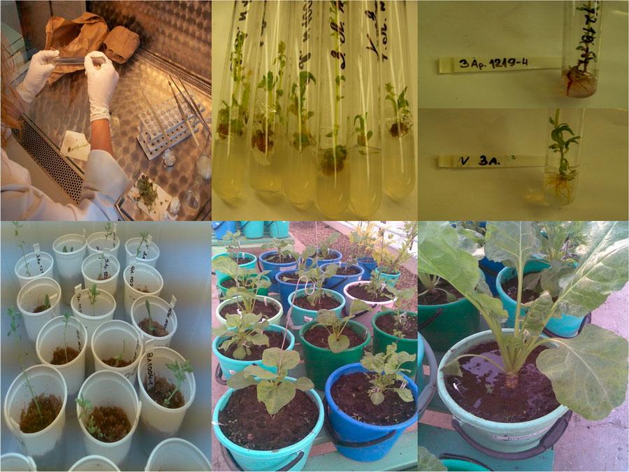 Основные этапы вегетативного микроклонального размножения сахарной свеклы. Исследования НПЦ по земледелию