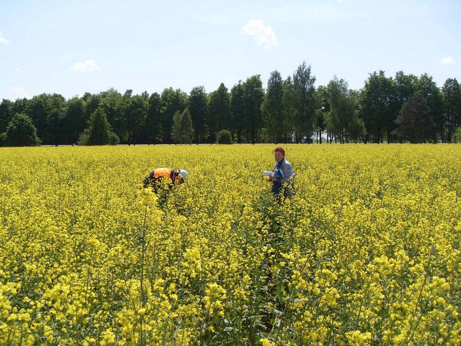 Наблюдения за гибридами ярового рапса в полевых условиях. Исследования НПЦ по земледелию