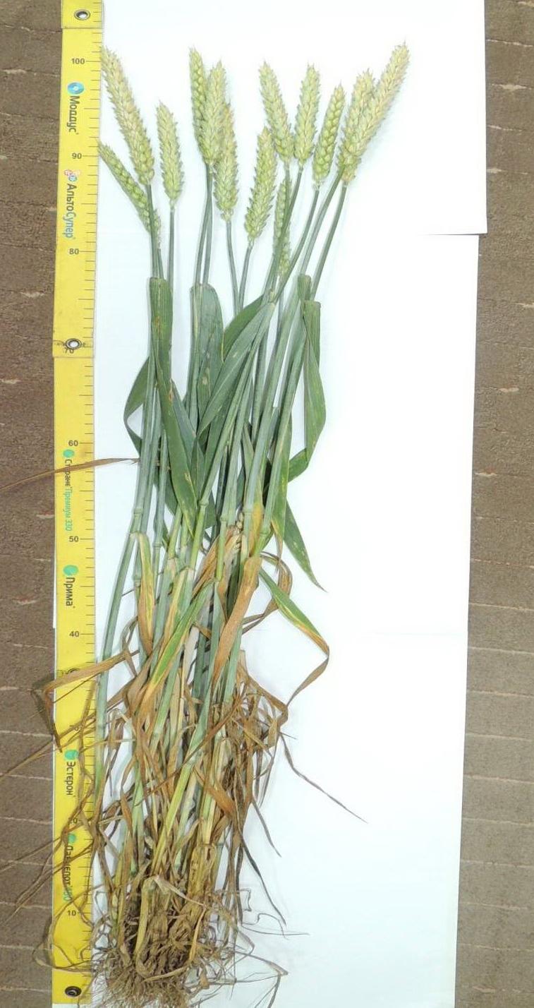 Сорт озимой пшеницы Элеганта: внешний вид растения. Исследования НПЦ по земледелию 2015
