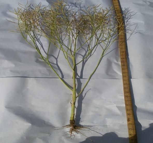 Растение гибрида озимого рапса Султан. Исследования НПЦ по земледелию 2016