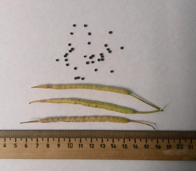 Cтручки и семена гибрида озимого рапса Султан. Исследования НПЦ по земледелию 2016