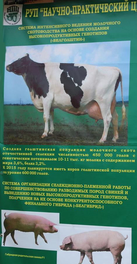 Научно-практический центр НАН Беларуси по животноводству. Система интенсивного ведения молочного скотоводства на основе создания выскопродуктивных генотипов (Белголштин)