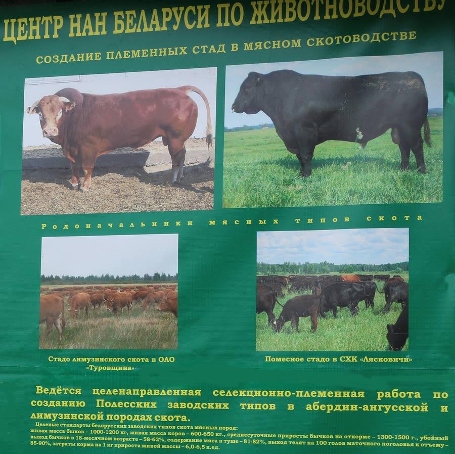 Научно-практический центр НАН Беларуси по животноводству. Создание племенных стад в мясном скотоводстве