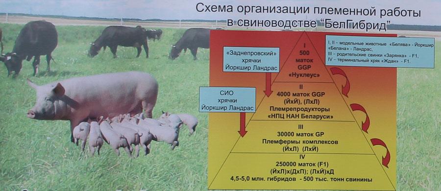 Научно-практический центр НАН Беларуси по животноводству. Система организации племенной работы в свиноводстве БелГибрид
