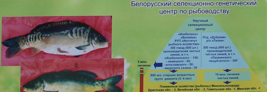 Научно-практический центр НАН Беларуси по животноводству. Белорусский селекционно-генетический центр по рыбоводству