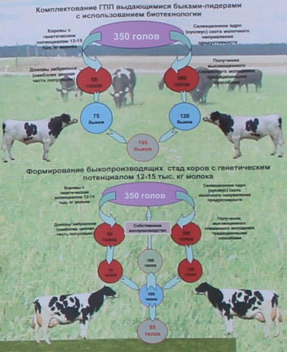 Научно-практический центр НАН Беларуси по животноводству. Формирование быкопроизводящих стад коров