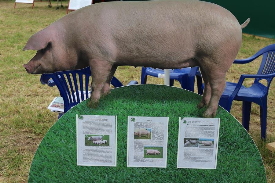 Научно-практический центр НАН Беларуси по животноводству. Инновационные разработки в свиноводстве