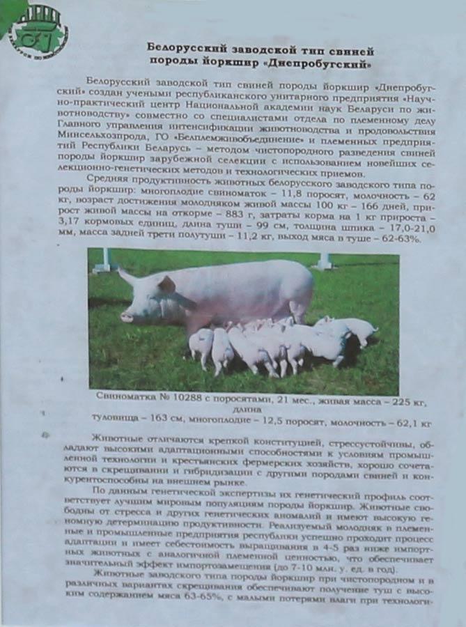 Научно-практический центр НАН Беларуси по животноводству. Белорусский заводсткой тип свиней породы йоркшир Днепробугский