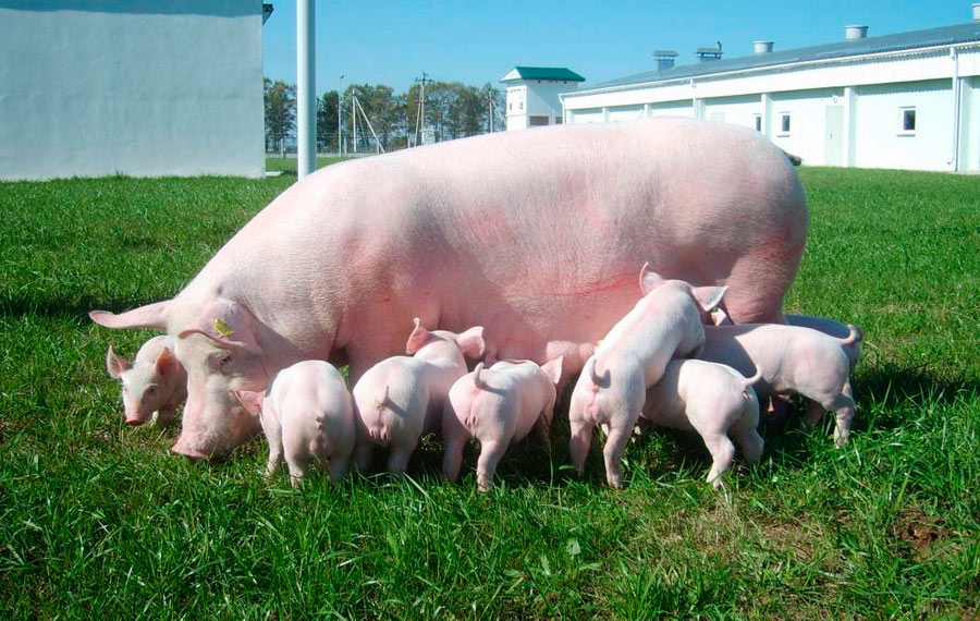 Научно-практический центр НАН Беларуси по животноводству. Свиноматка породы йоркшир с поросятами