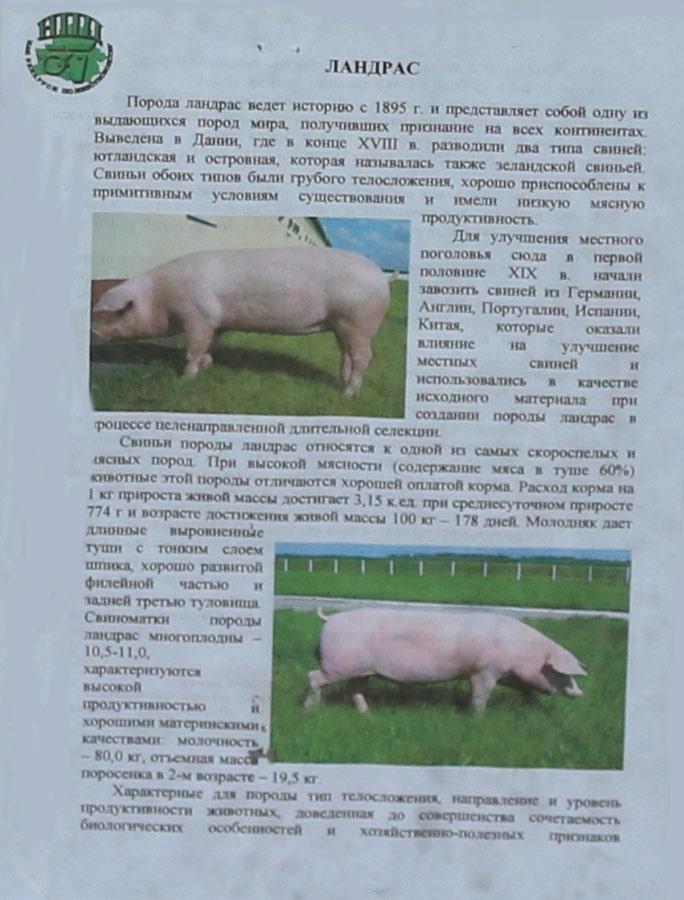 Научно-практический центр НАН Беларуси по животноводству. Свиньи породы Ландрас