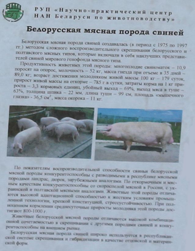 Научно-практический центр НАН Беларуси по животноводству. Белорусская мясная порода свиней