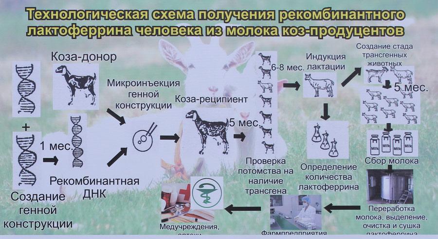 Научно-практический центр НАН Беларуси по животноводству. Технологическая схема получения рекомбинантного лактоферрина человека из молока коз-продуцентов