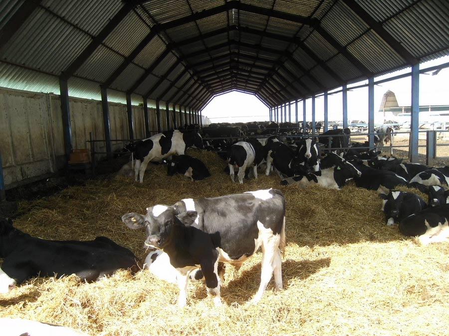 Научно-практический центр НАН Беларуси по животноводству. Низкозатратная технология выращивания и откорма молодняка