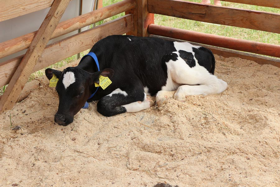 Научно-практический центр НАН Беларуси по животноводству. Телята молочного периода