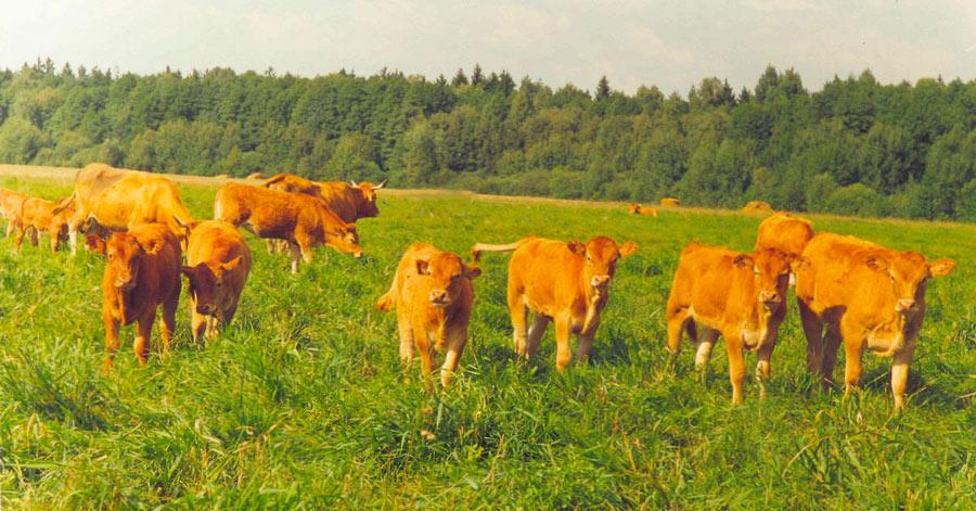 Научно-практический центр НАН Беларуси по животноводству.  Крупный рогатый скот лимузинской мясной породы