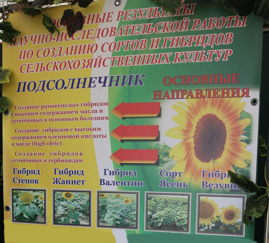 Полесский институт растениеводства. Гибриды подсолнечника белорусской селекции